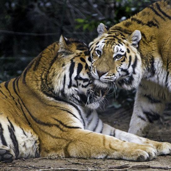 森林之王驾到!Toronto Zoo 多伦多动物园 年票限时大促!