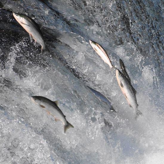 盘点多伦多周边 观看三文鱼洄游好去处!