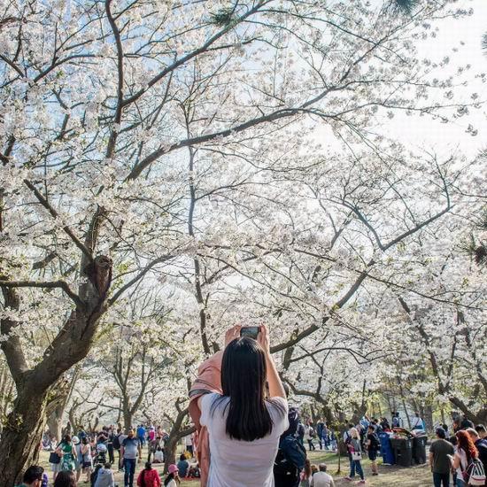 今日最新图,樱花盛开!High Park公园樱花 最佳观赏时间就在本周六!盘点多伦多15处最佳赏樱地!