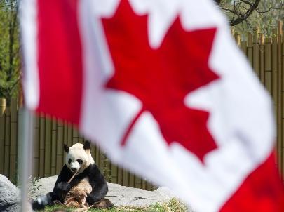 多伦多动物园9月1日庆祝大熊猫7岁生日,当天过生的朋友可凭证免费入场