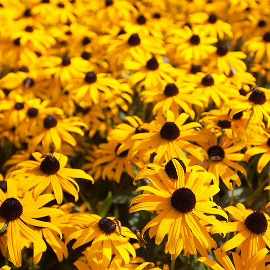 加拿大野生动物保护协会 免费赠送黑心金光菊种子!